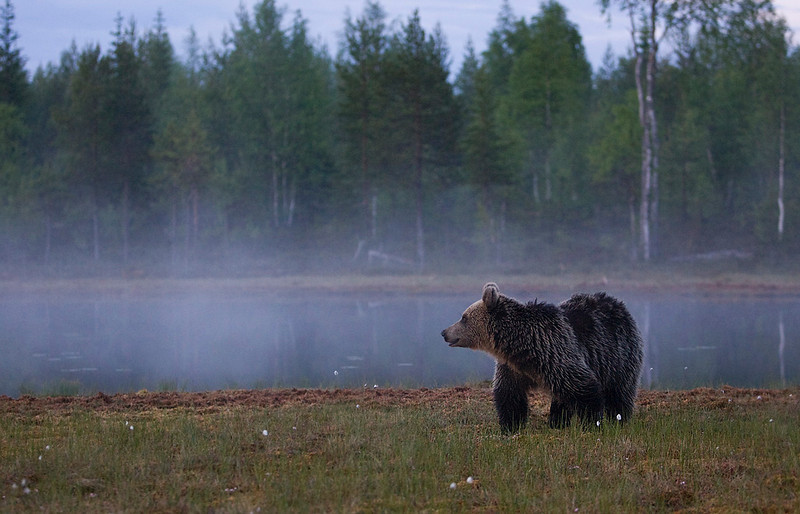Brown Bear. John Chapman.
