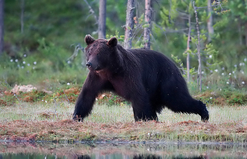 Bear. John Chapman.