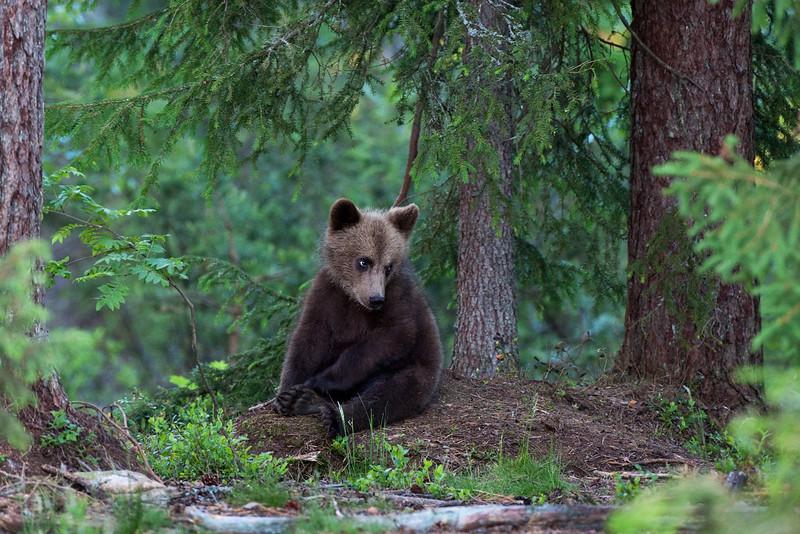 Baby Brown Bear. John Chapman.