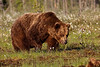 Brown Bear. John Chapman.