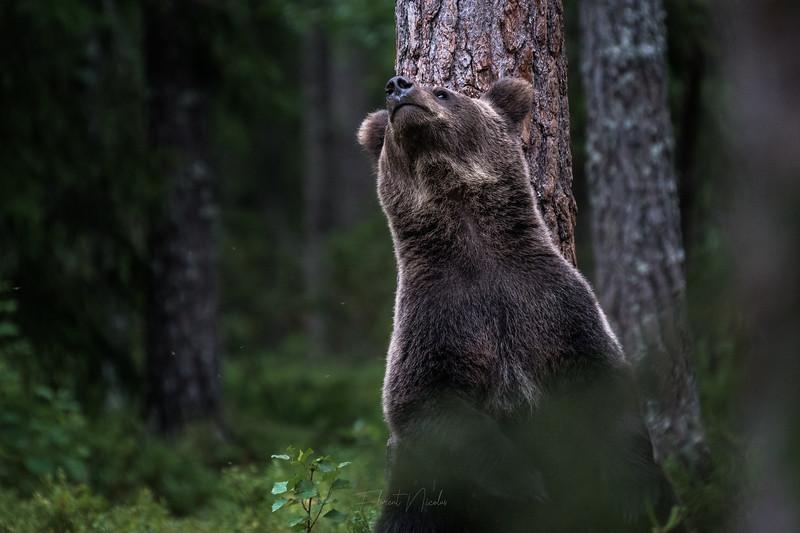 """[ ENG below  ]<br /> <br /> Appâter des animaux sauvages sans raison à part pour les photographier plus facilement : je suis totalement contre ce type de pratique. C´est malheureusement largement répandu en Europe, et rarement précisé sous les images. Ici en Finlande, la plupart des images de prédateurs terrestres par les photographes de """"nature"""" sont réalisés grâce à des appâts. Il n´y a pas grand-chose de naturel dans ces images, mais c´est mon point de vue ! Images de 2015, je n´y mets plus les pieds et je n´utilise pas cette pratique.<br /> <br /> --<br /> <br /> I am totally against baiting wildlife, there is no good reason behind baiting. Unfortuntealy, it´s a widepread practice in Europe and rarely shared in the pictures captions. Here in Finland, most of the pictures of predators are made using baits. It´s called """"wildlife photography"""" but I am not sure if this is really about wildlife... Pics from 2015, I no longer go in these places and I don´t bait wildlife to produce images."""