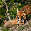 Jeu de renards