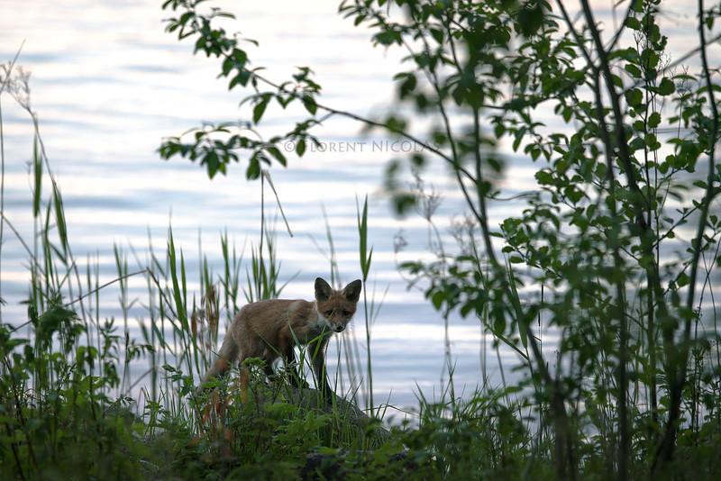 Young coastal fox