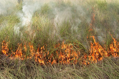 Fire and smoke consume cutthroat grass as the leading edge of the fire creeps through a pine flatwoods