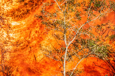 A small oak is enveloped in a wall of flame during a prescribed fire at Archbold Biological Station.