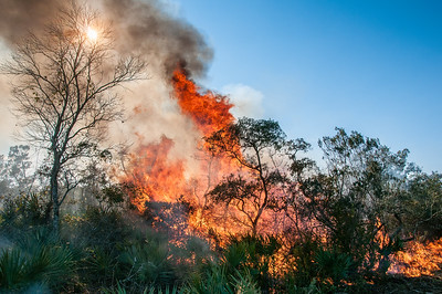Flames roar through overgrown scrub during a prescribed fire.