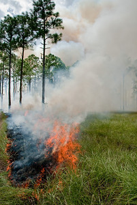 Fire burns through a cutthroat grass wetland in pine flatwoods of Archbold Biological Station