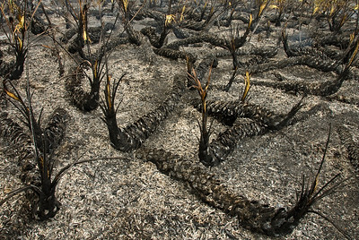 Burned Palmetto trunks. These will resprout within days of the fire.