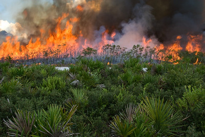 A prescribed fire set in Florida's oak scrub habitat. Fire is an essential disturbance in these habitats.