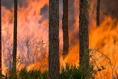 A prescribed fire roars through a pine flatwoods at Archbold Biological Station