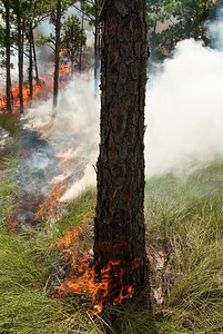 Prescribed fire in a cutthroat flatwood at Archbold Biological Station, Florida.
