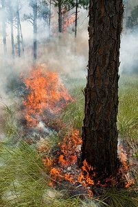 Natural fires in grass-dominated pine flatwoods occurred every 2-3 years and were of relatively low intensity
