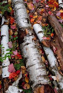 Fallen Birch.