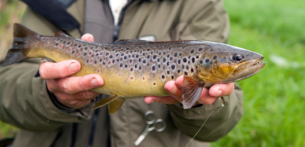 2lb plus wild Irish brown trout from R Blackwater Co Tyrone N Ireland