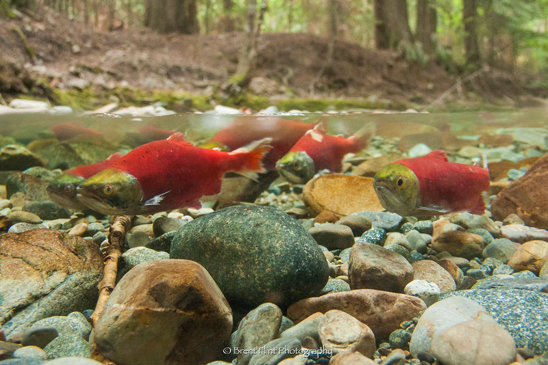 DF.4041 - kokanee salmon spawning in Trestle Creek, Kaniksu National Forest, ID.