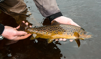 Gillaroo trout from River Drowes Co. Leitrim ureland