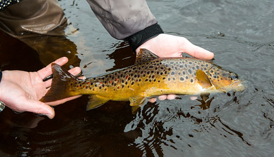 Returning a Gillaroo trout from River Drowes Co. Leitrim Ireland