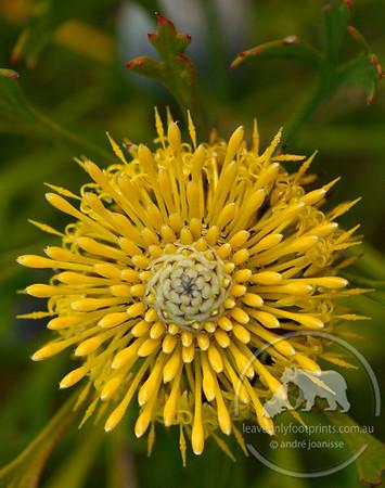 Isopogon anemonifolius - Flower in bloom, Awabakal Reserve, NSW Australia