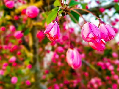 Pink bud