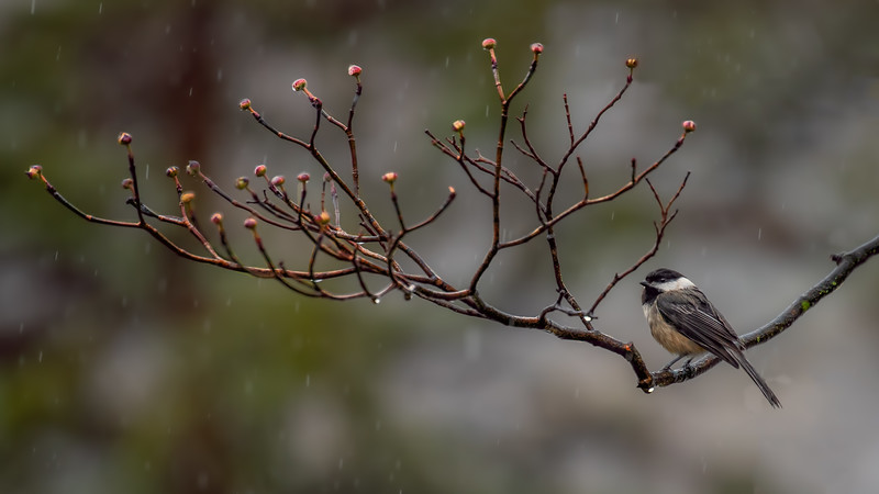 A Wet Chickadee