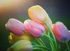 Tulip Sunshine