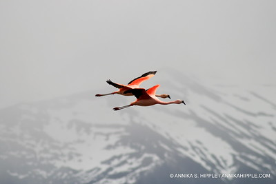 Flying flamingos, Torres del Paine National Park, Chile
