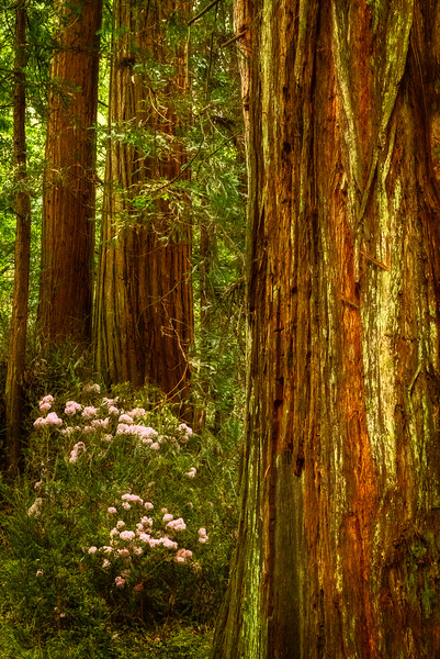 Redwoods and Rhodies