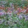 Impressionistic Dahlias # 1
