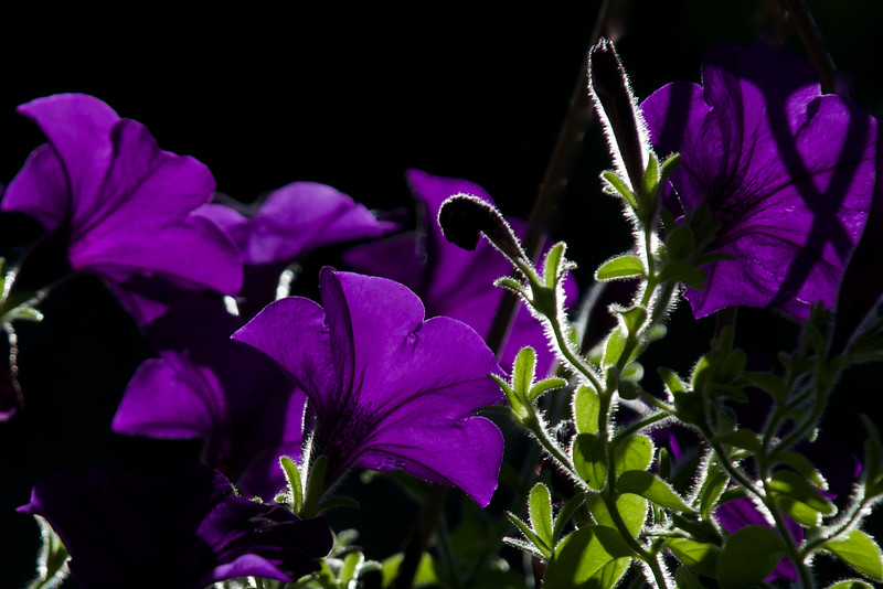 the secret life of petunias ~ Michigan