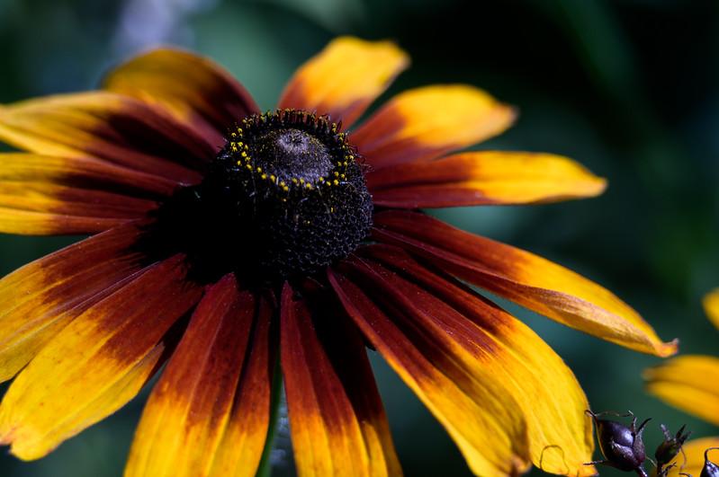 Blanket Flower ~ Gaillardia ~ Huron River and Watershed