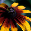 Blanket Flower ~ Gaillardia ~ Huron River and Watershed