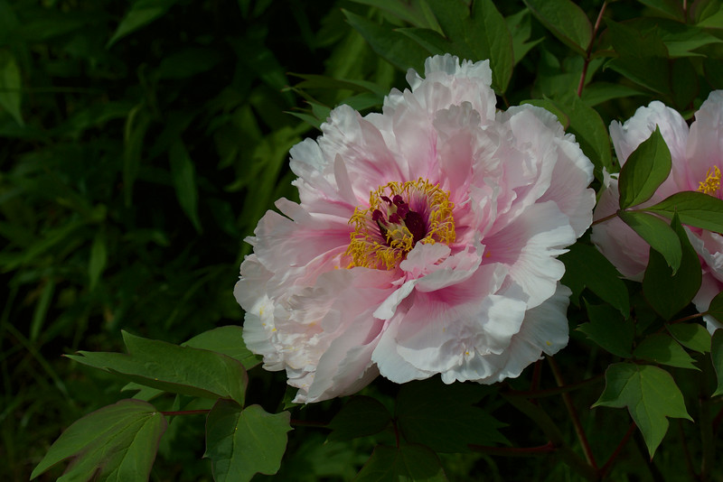 Japanese Tree Peony ~ Michigan