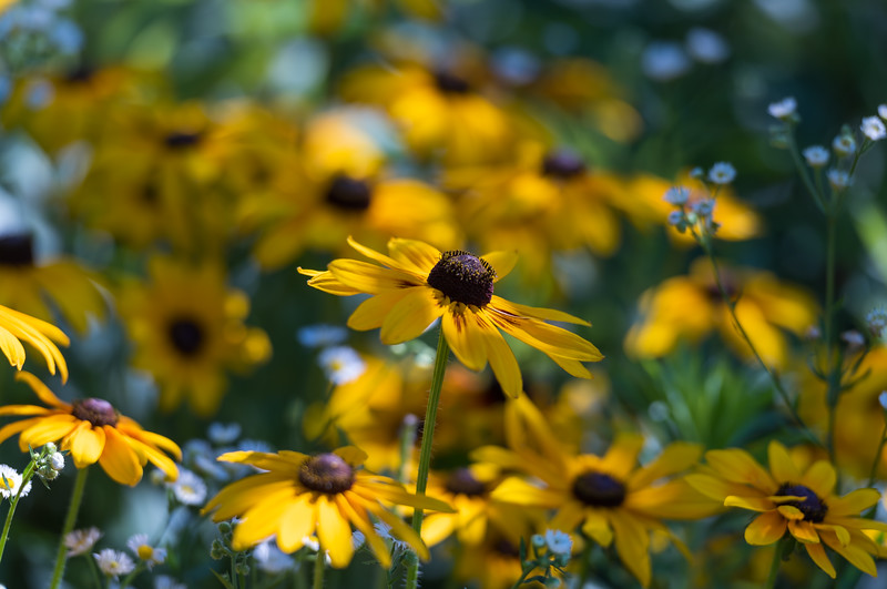 Rudbeckia ~ Huron River and Watershed