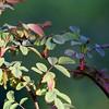 Antique Rose Bush, After the Rain