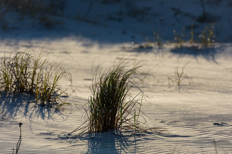 blades of grass in late afternoon sun ~ Southern Outer Banks