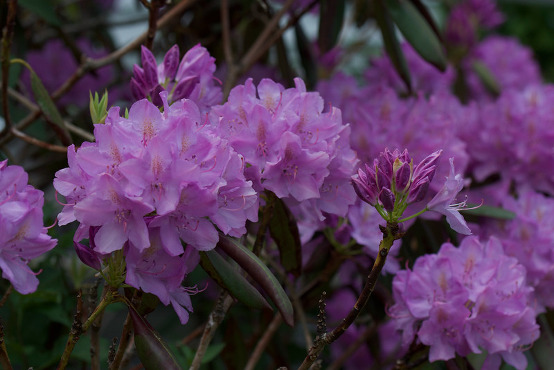 sea of Rhododendrons ~ by the sea ~ Maine