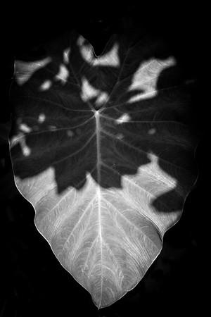 Leaf in Shadow