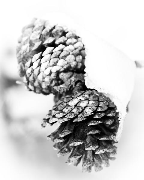 Snowy Pine Cone Portrait