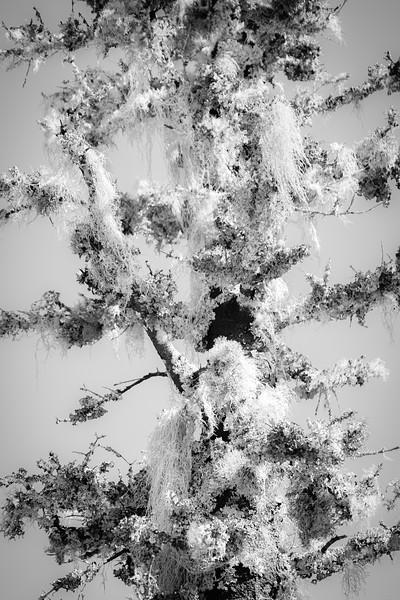 Lichen this Tree Ent