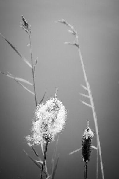 Molting Cattails at Water's Edge in BnW