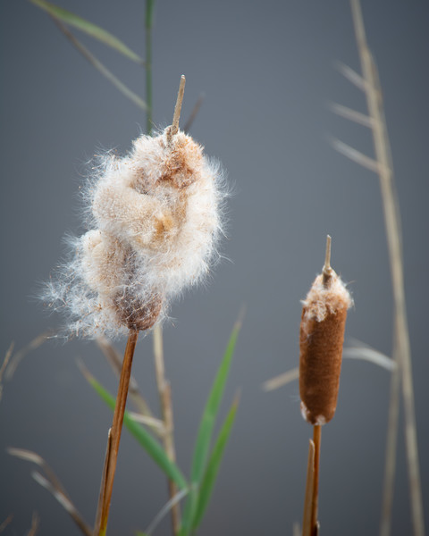 Molting Cattail Close Up