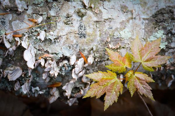 Emerging Maple Leaves on Nurse Log with Fungi