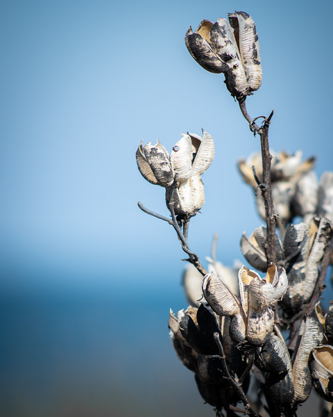 Seed Pods by the Ocean