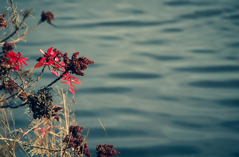Red Sumac with Rippled Water