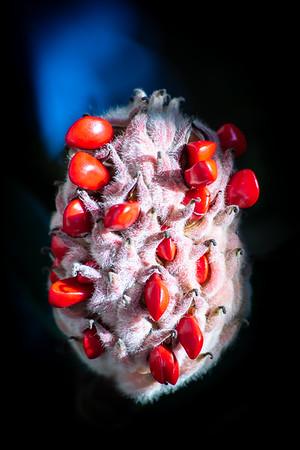 Vibrant Magnolia Seed Pod