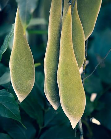 Velvety Green Seed Pods
