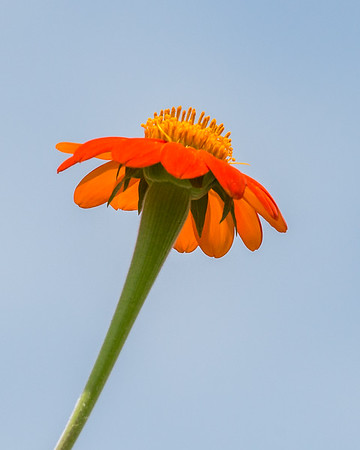 Mexican Sunflower-7996