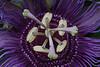 Passion Flower-5560