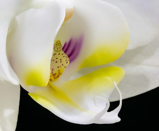 Orchid Phalaenopsis Hybrid--3