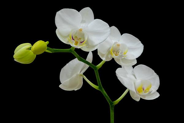 Orchid Phalaenopsis Hybrid--2